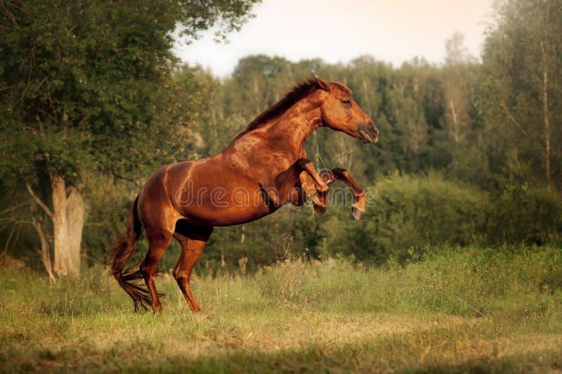 Beautiful bay horse rearing up stock photography