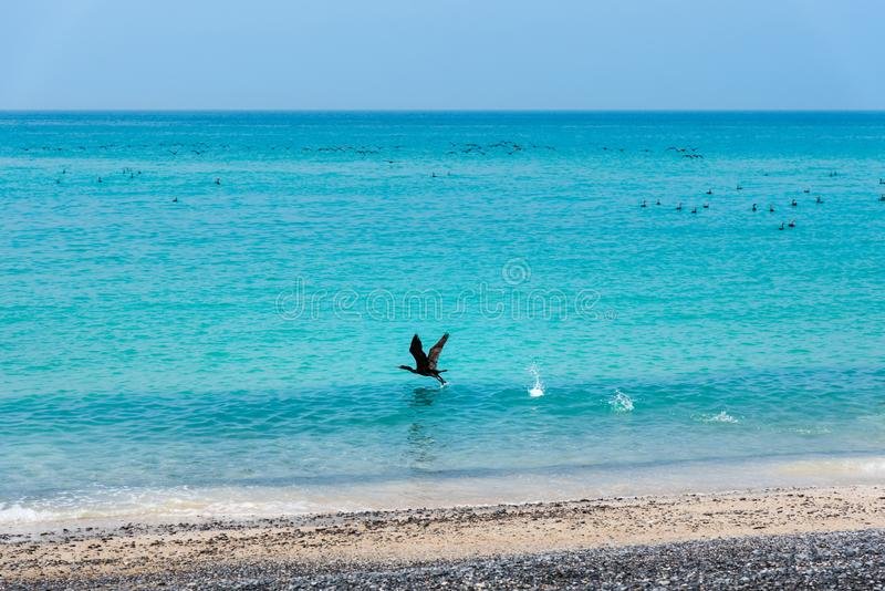 Beautiful beach crowded with birds. On a sunny day, bukha, seaside, oman, musandam, landscape, bay, stones, wildlife, crowds, horizon, shore, togetherness royalty free stock photo