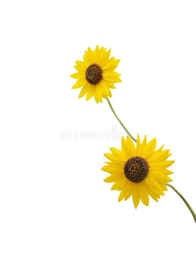 Beautiful beach sunflowers isolated on white royalty free stock image