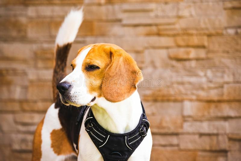 Beautiful beagle dog on bricked wall background outdoors. Copy space on right.  stock photography
