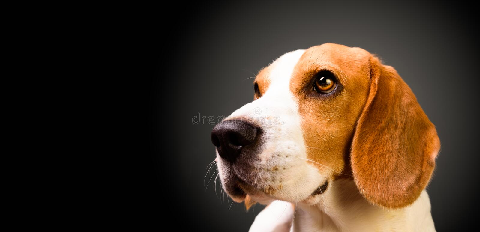 Beautiful beagle dog isolated on black background. Studio shoot. Copy space on right royalty free stock photo