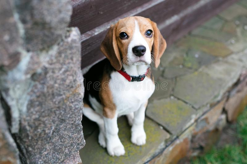 Beautiful beagle dogs royalty free stock images