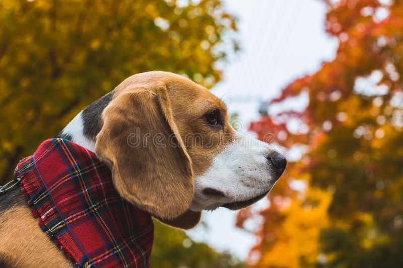 Beautiful beagle hunting dog on the background of the autumn forest stock image
