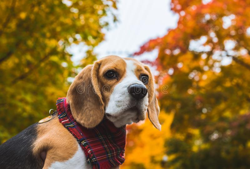 Beautiful beagle hunting dog on the background of the autumn forest royalty free stock photography
