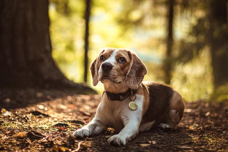 Beautiful beagle hunting dog with background with space for something stock photography