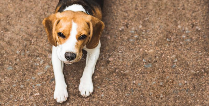 Beautiful beagle hunting dog on the ground background with space for something stock photos