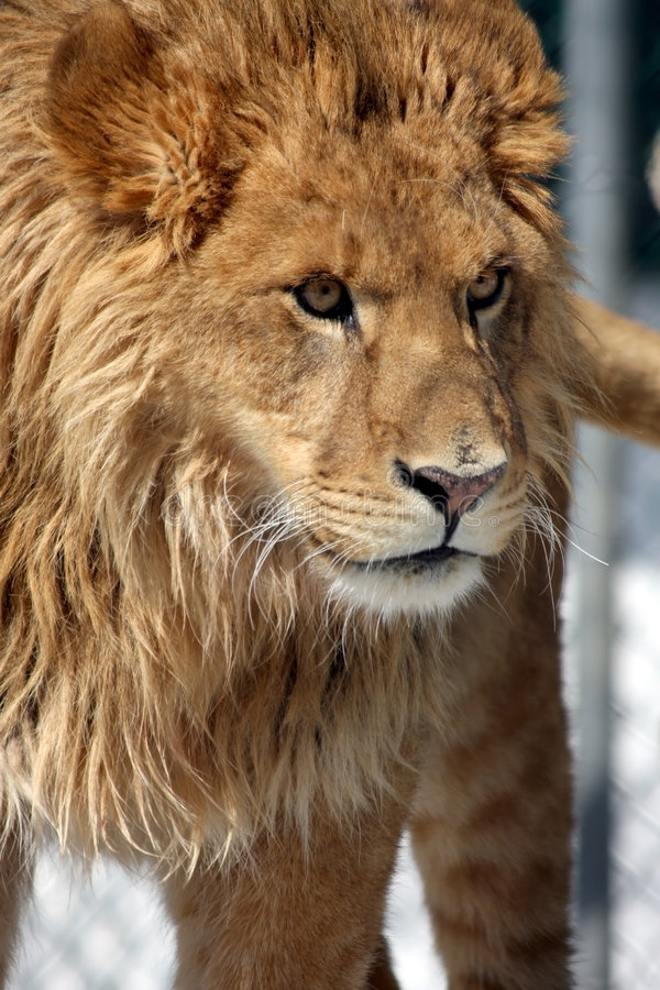 Beautiful Beast stock images