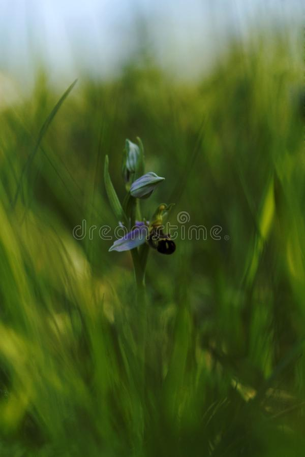 Beautiful Bee Orchid, Ophrys apifera, grow in forest with natural background, wallpaper natural closeup macro, postcard beauty and royalty free stock photography