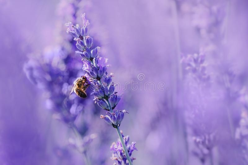 Beautiful bee pollinates lavender flower field, sunlight, purple tone, macro photo. Summer natural landscape with copy royalty free stock photography