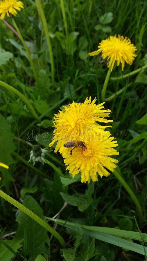 Beautiful Bee On Flower stock image