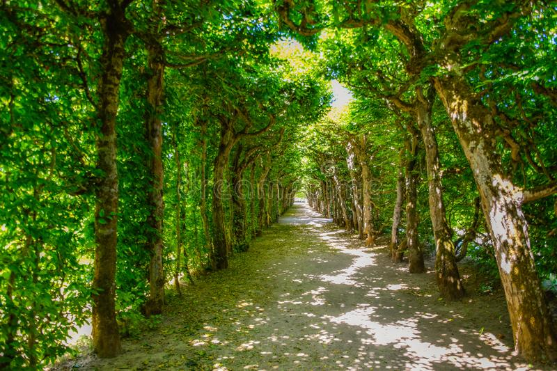 Beautiful beech avenue in summer stock photos