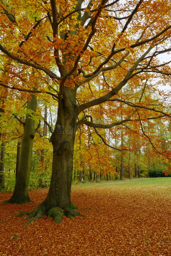 Beech in the park royalty free stock images