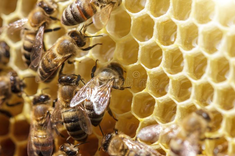 Beautiful bees on honeycombs with honey close-up royalty free stock photos