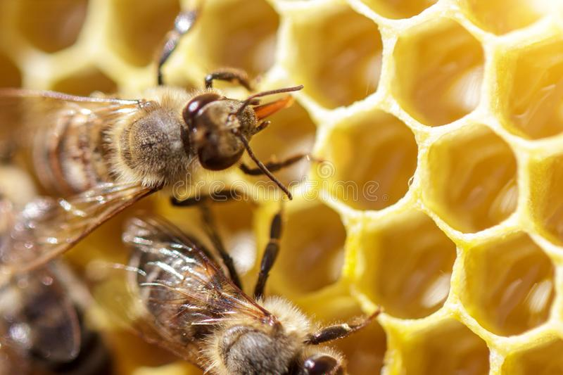 Beautiful bees on honeycombs with honey close-up royalty free stock photo