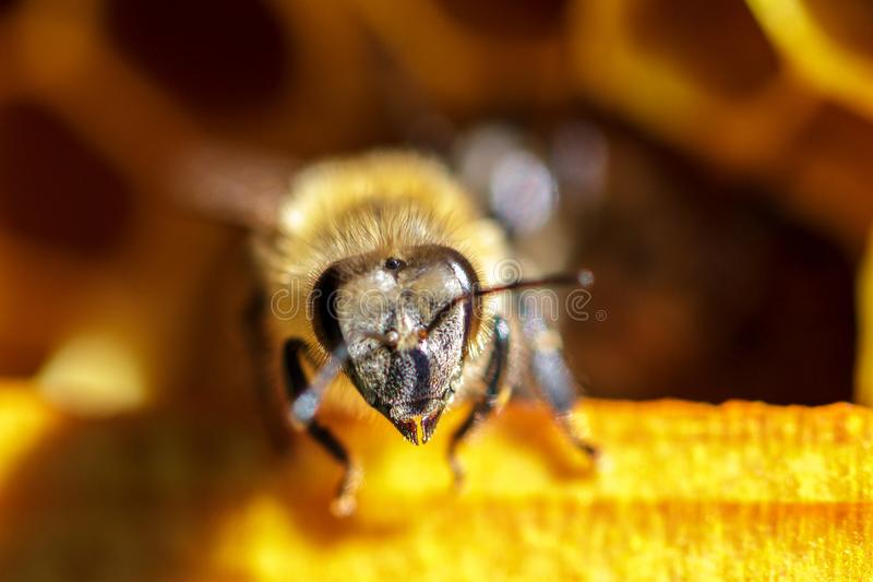 Beautiful bees on honeycombs with honey close-up royalty free stock images