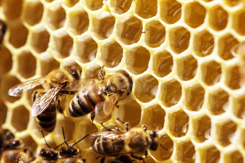 Beautiful bees on honeycombs with honey close-up royalty free stock image