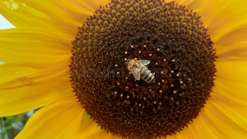 Beautiful bees royalty free stock images