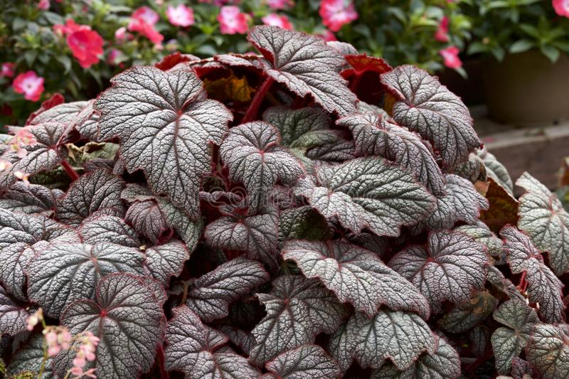 Beautiful begonia leaves. Picture of the beautiful begonia leaf stock image