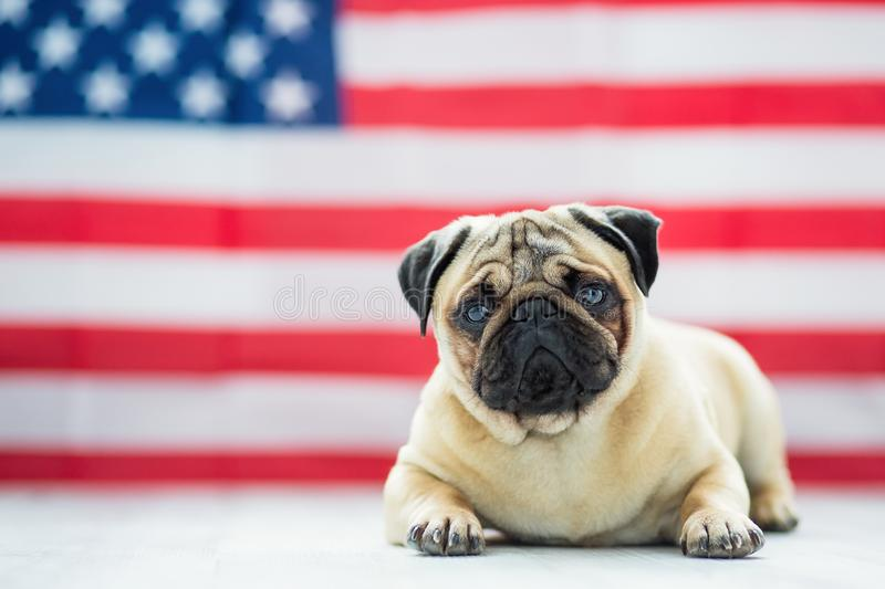 Beautiful beige puppy pug on the background of the American flag on Independence Day. Pug on the background of the American flag. Beautiful beige puppy pug on royalty free stock photos