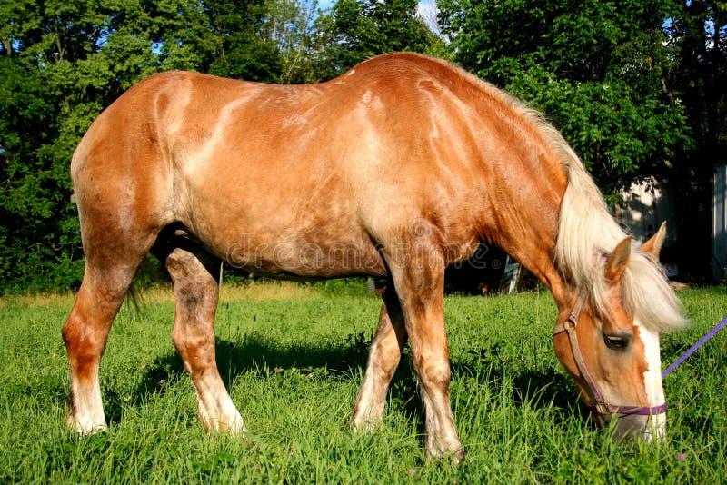 A beautiful Belgian Horse. Eating in pasture stock photos