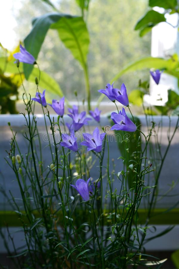 Beautiful bellflowers in small urban garden on the balcony. Tiny violet  flowers.  stock photos