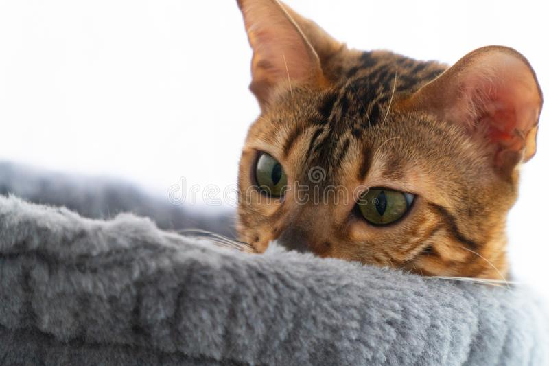 Beautiful bengal cat laying on the scratching post in hammock stock photography