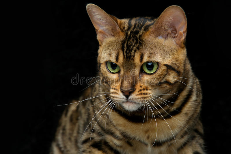 Beautiful bengal cat. Portrait of beautiful bengal cat staring at something. Closeup. Studio shot over black background. Copy space stock images