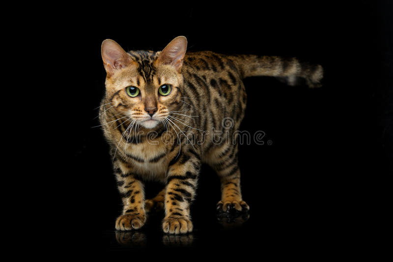 Beautiful bengal cat. Portrait of beautiful bengal cat staring at something. Studio shot over black background. Copy space stock image