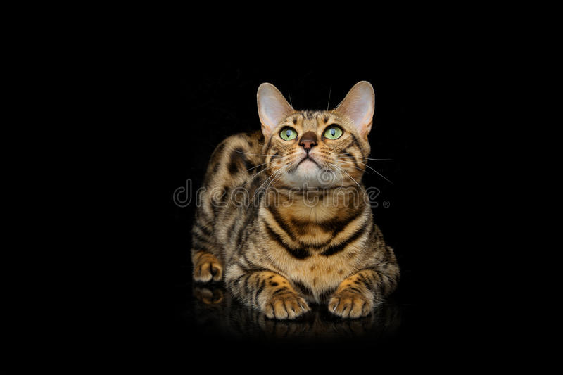 Beautiful bengal cat. Portrait of beautiful bengal cat staring at something. Studio shot over black background. Copy space stock photography
