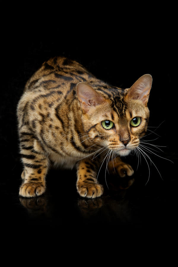 Beautiful bengal cat. Portrait of beautiful bengal cat staring at something. Studio shot over black background. Copy space stock photo
