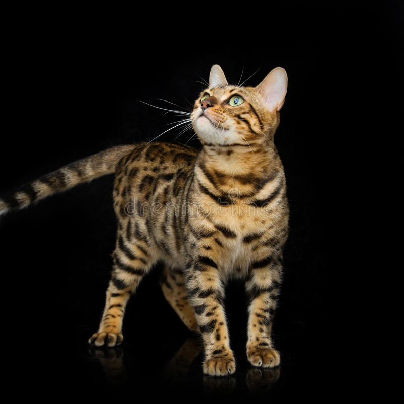 Beautiful bengal cat. Portrait of beautiful bengal cat staring at something. Studio shot over black background. Copy space. Square composition royalty free stock photography