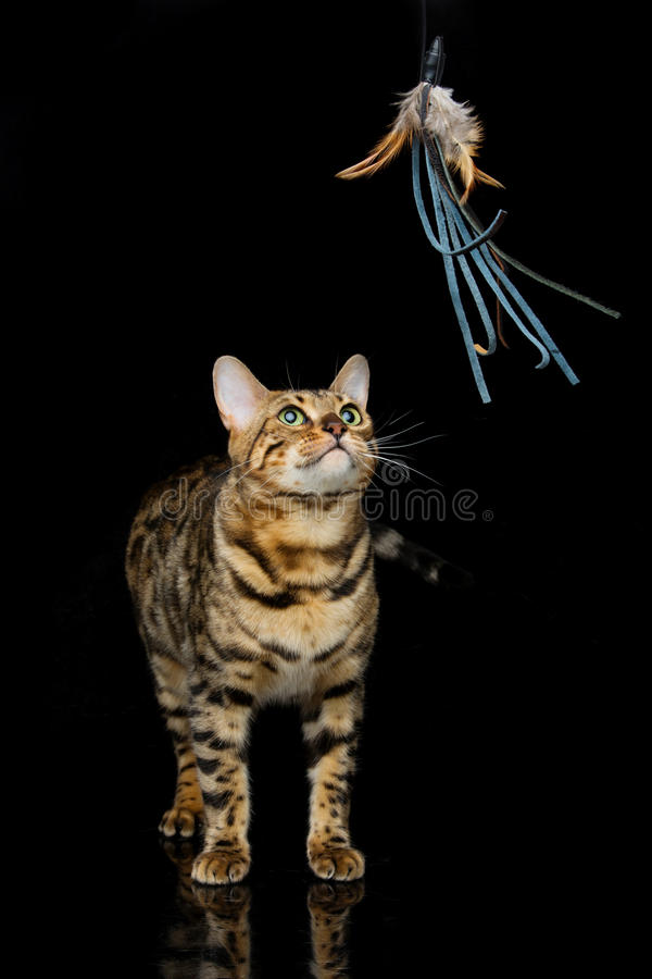 Beautiful bengal cat. Portrait of beautiful bengal cat staring at toy. Studio shot over black background. Copy space stock image