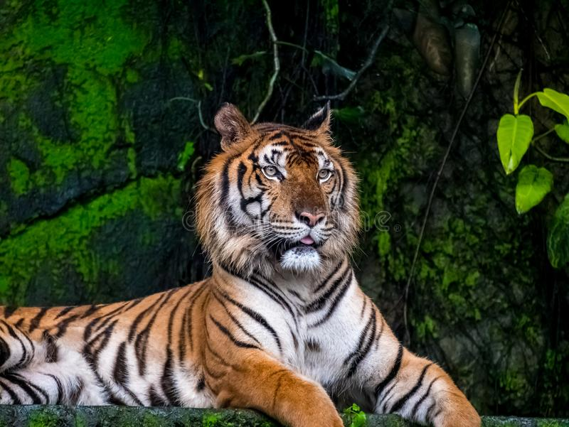 Beautiful Bengal tiger, queen tiger in forest show action nature.  royalty free stock photo