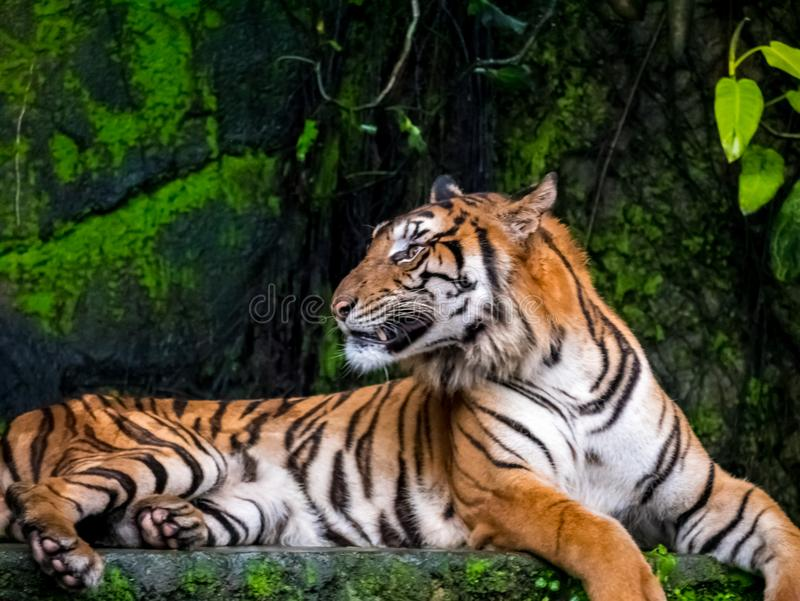 Beautiful Bengal tiger, queen tiger in forest show action nature.  royalty free stock image