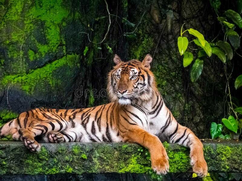 Beautiful Bengal tiger, queen tiger in forest show action nature.  royalty free stock photography