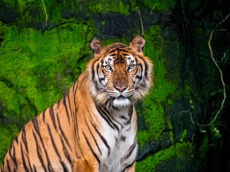 Beautiful Bengal tiger, queen tiger in forest show action nature.  stock photos