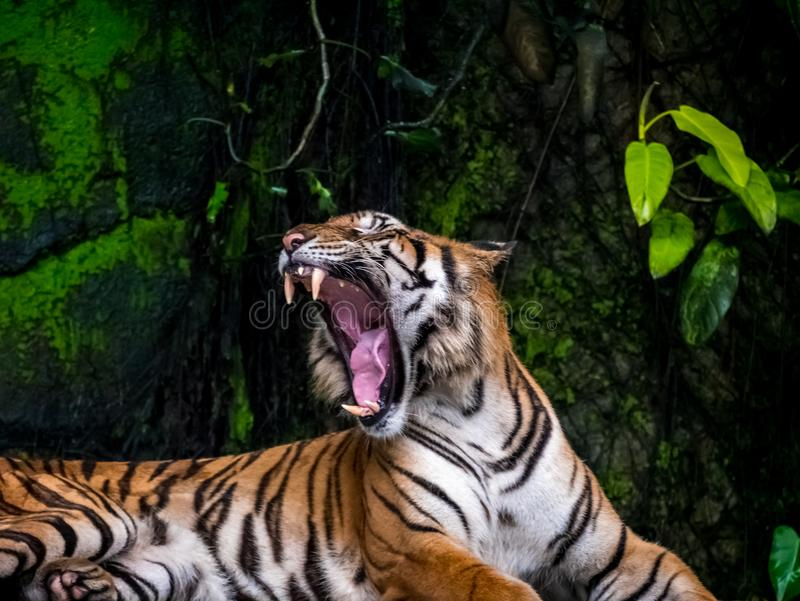 Beautiful Bengal tiger, queen tiger in forest show action nature.  stock image