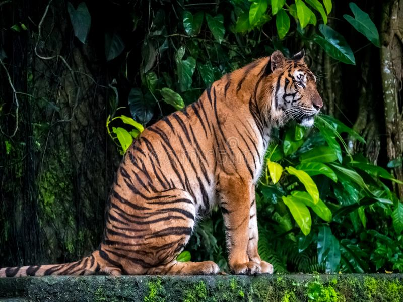 Beautiful Bengal tiger, queen tiger in forest show action nature.  stock photography