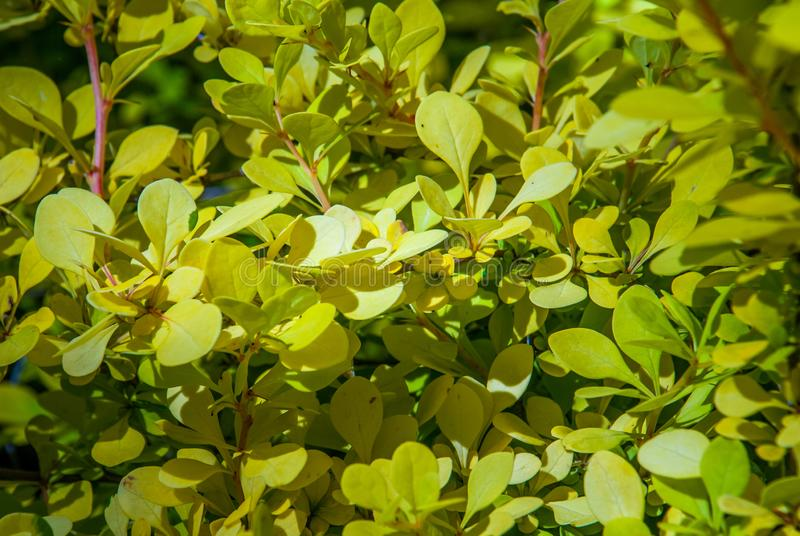 Beautiful berberis golden leaved in the garden. Suitable for making background images stock photography
