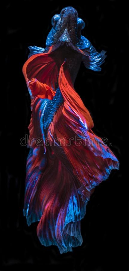 Betta Fish fancy halfmoon movement on darkness Background with clipping parth. Beautiful Betta Fish fancy blue & red halfmoon movement on darkness Background royalty free stock photos