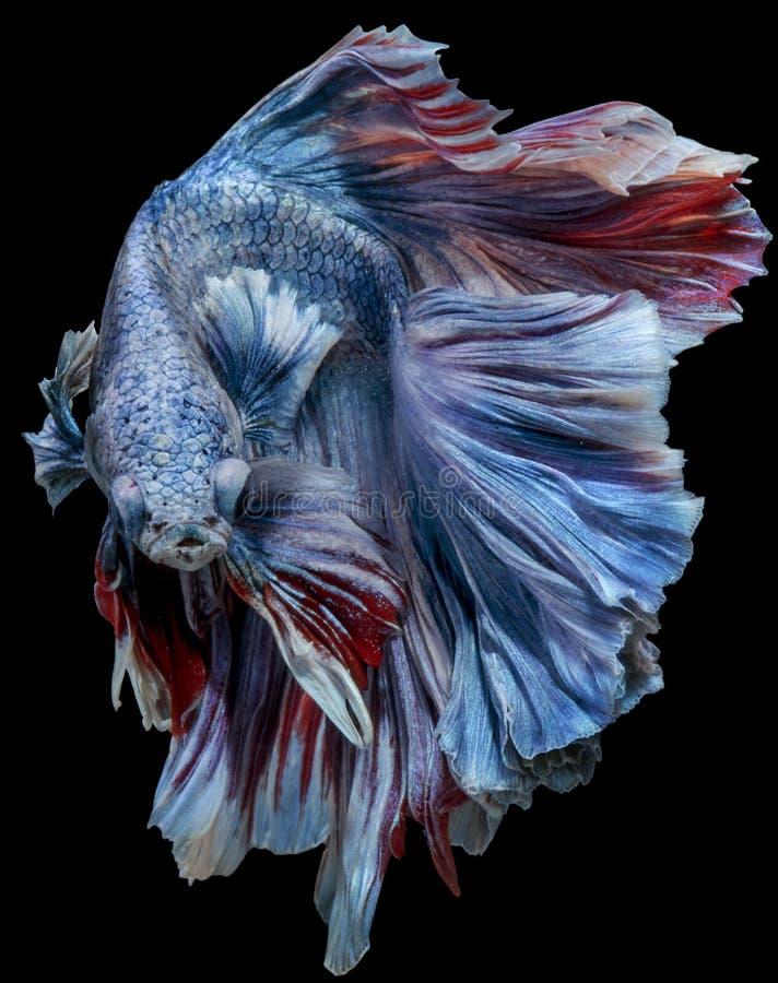 Beautiful Betta Fish halfmoon movement with clipping parth. Beautiful Betta Fish halfmoon movement on darkness Background with clipping parth royalty free stock image