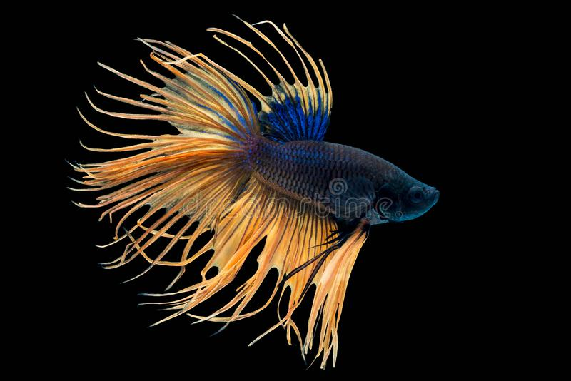 Betta splendens Crowntail Siamese fighting fish. Beautiful betta splendens Crowntail Siamese fighting fish, Macropodinae or Osphronemidae  yellow tail fin and stock photos
