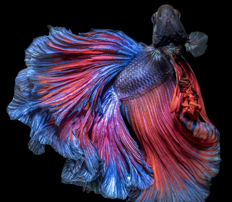 Beautiful Bettafish halfmoon movement with clipping path. Beautiful fan tail Bettafish halfmoon movement on isolated darkness background with clipping path stock images