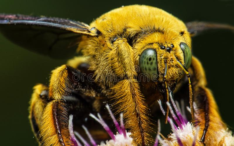 Beautiful big bee insect in malaysia stock photo
