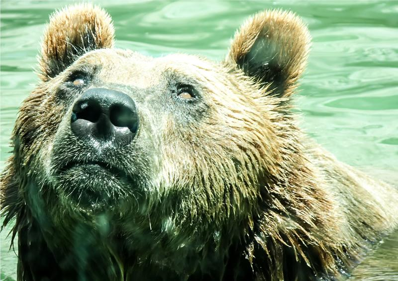 Big brown bear swimming in the water. Beautiful big brown bear swimming in the water . Wonderful background of a wild animal. Portrait of a predator, closeup stock photos