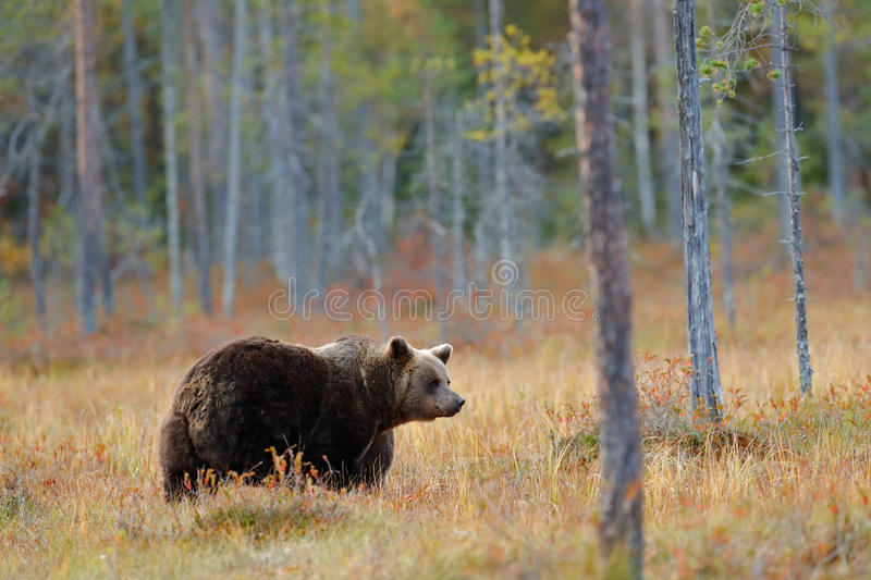Beautiful big brown bear walking around lake with autumn colours. Dangerous animal in nature forest and meadow habitat. Wildlife royalty free stock image