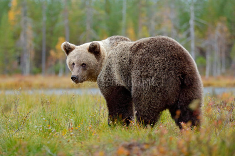 Beautiful big brown bear walking around lake with autumn colours. Dangerous animal in nature forest and meadow habitat. Wildlife royalty free stock photos