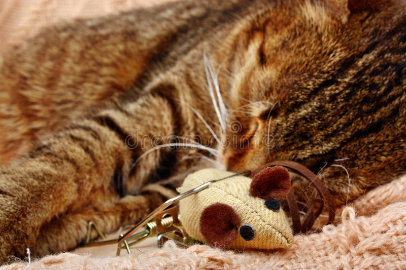 Beautiful big cat slept with a toy mouse. On a blanket in the house stock photos