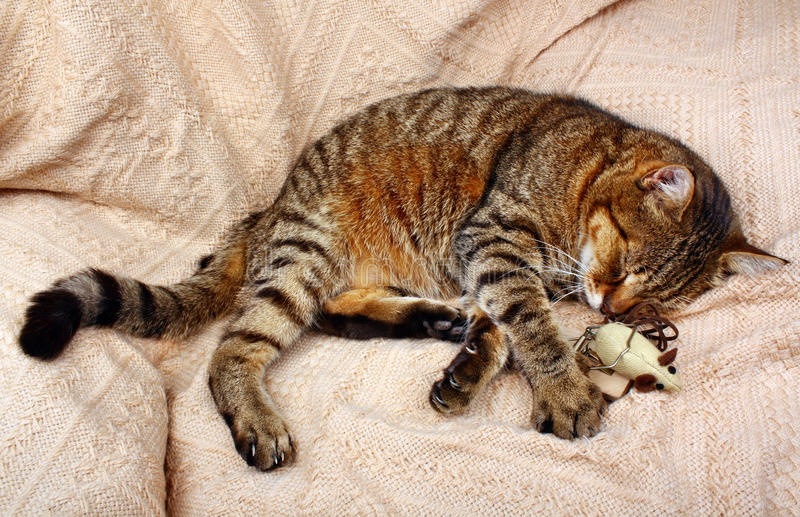 Beautiful big cat slept with a toy mouse. On a blanket in the house stock photography