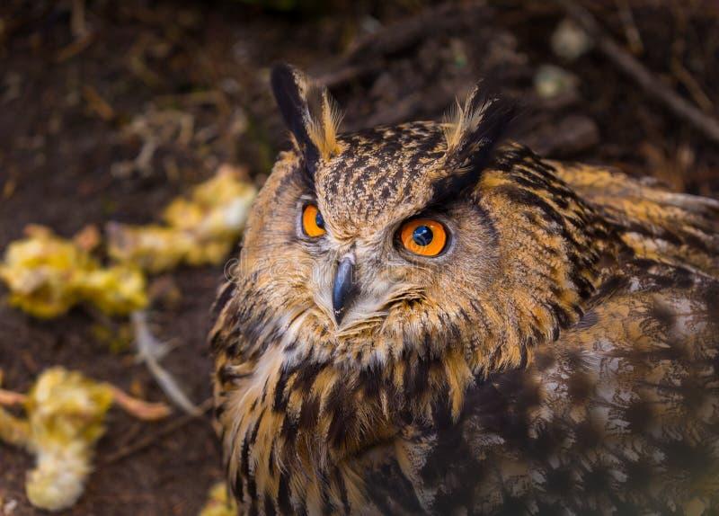 Beautiful big eagle-owl portrait stock images